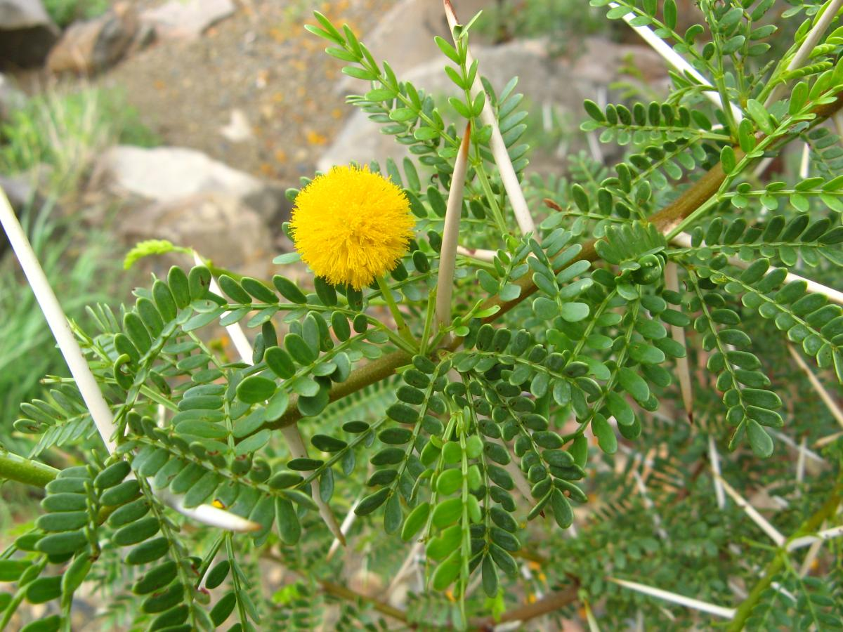 Kyffhäuser Flora Acacia Karroo