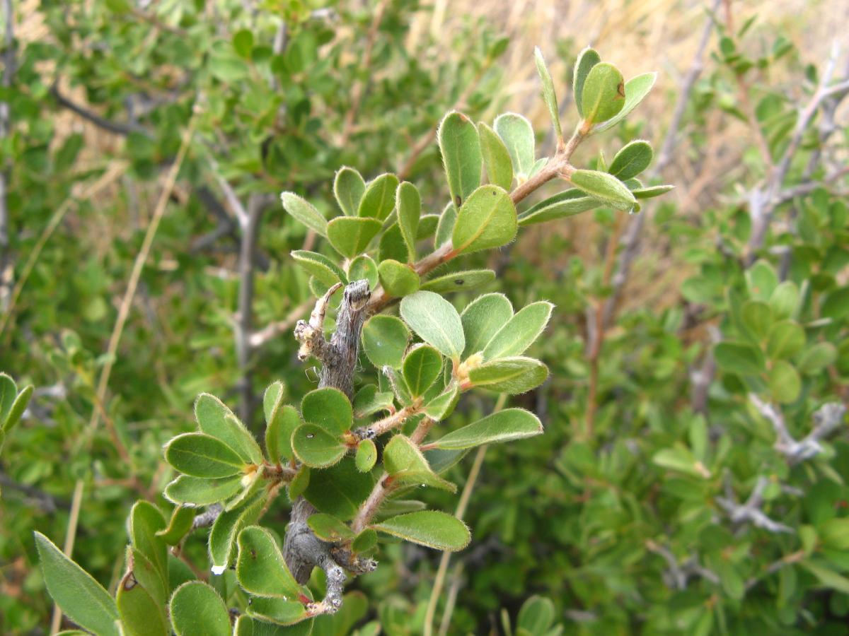 Kyffh 228 User Flora Diospyros Lycioides Subsp Lycioides